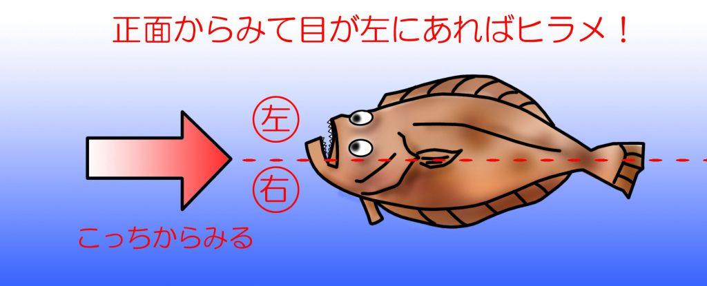 ヒラメの目の向き