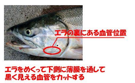 鮭の血抜き