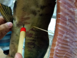 鮭の切り身同士が接触しないよう竹串で支える