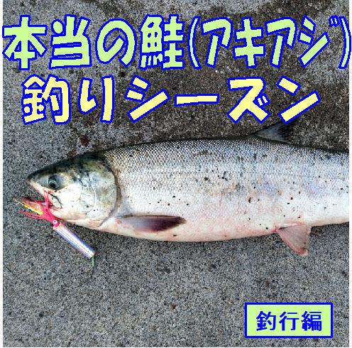 本当の鮭(アキアジ)釣りシーズン